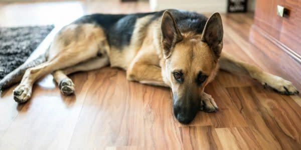 dog-laying-on-hardwood-floor-min